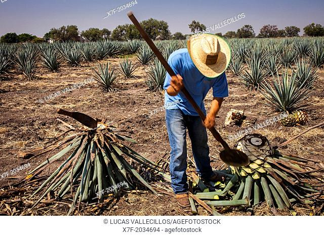 Harvesting Agave (Jima).plantation of blue Agave in Rancho `El Coyote', Penjamo, Guanajuato, Mexico
