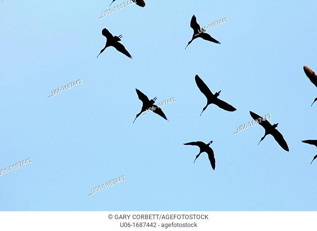 a flock of white ibis birds in florida USA viewed from below