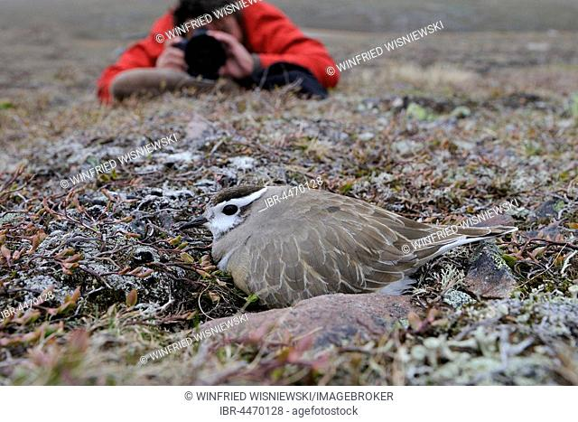 Nature photographer taking photo, Eurasian dotterel (Eudromias morinellus), male in nest, breeding, Varanger, Norway