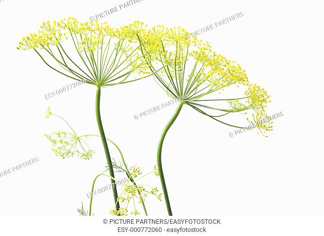 Two Flowering Dill, Anethum Graveolens, On White Background