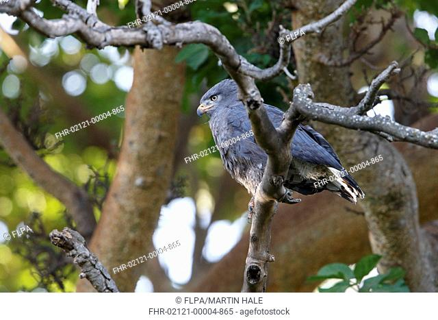 Western Banded Snake-eagle (Circaetus cinerascens) adult, perched on branch in forest, Lake Langano, Oromia Region, Ethiopia, December