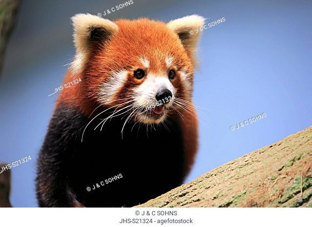 Red Panda, (Ailurus fulgens fulgens), adult on tree portrait, Asia