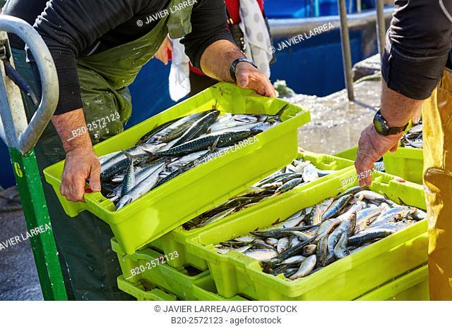 Unloading fish, mackerel. Fishing port. Hondarribia. Gipuzkoa. Basque Country. Spain