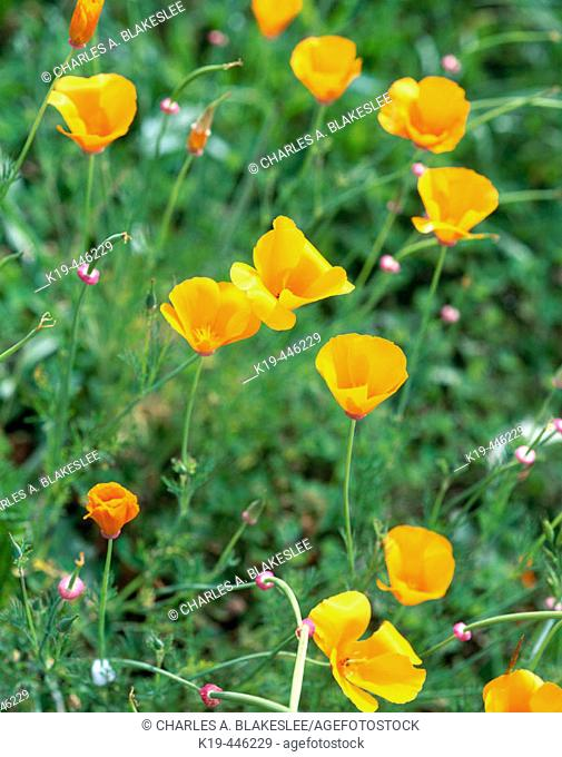 California Poppy (Eschscholzia californica) in afternoon light. Antelope Valley, Los Angeles County. California, USA