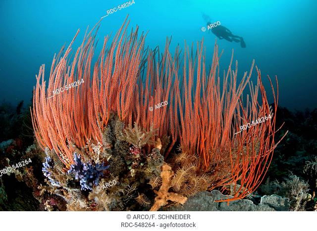 Red Whip corals and scuba diver, Molukkes, Indonesia, Asia, Pacific / (Ellisella ceratophyta)