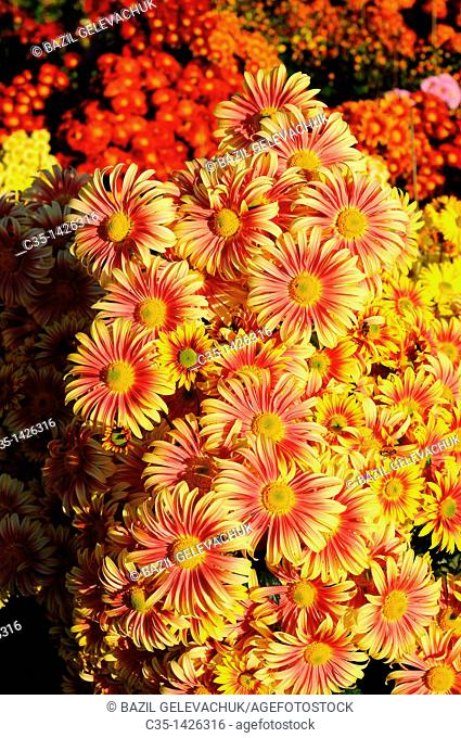 Chrysanthemum garden roma