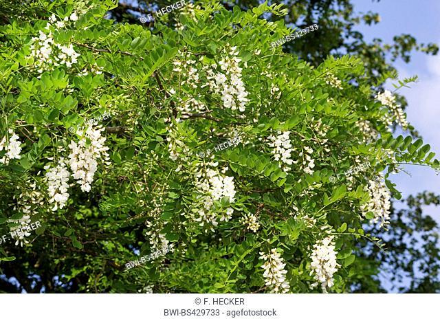 black locust, common locust, robinia (Robinia pseudo-acacia, Robinia pseudoacacia, Robinia pseudacacia), blooming branch, Germany