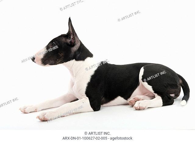 A puppy lying down
