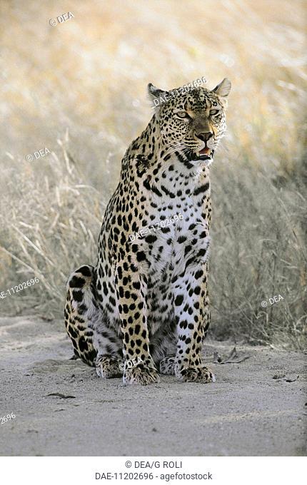 Zoology - Cats - Leopard (Panthera pardus). South Africa, Kruger National Park
