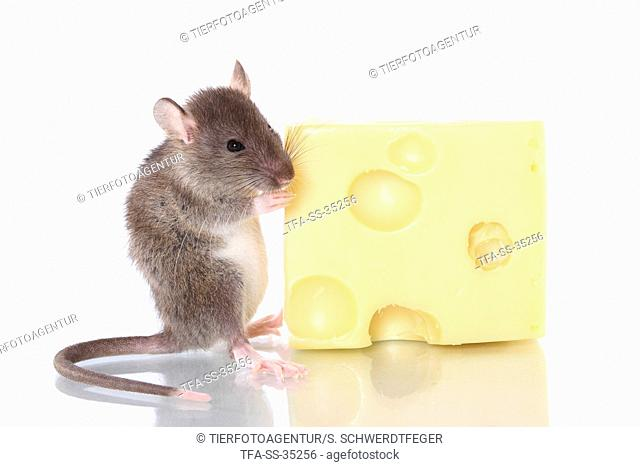 fancy rat with cheese