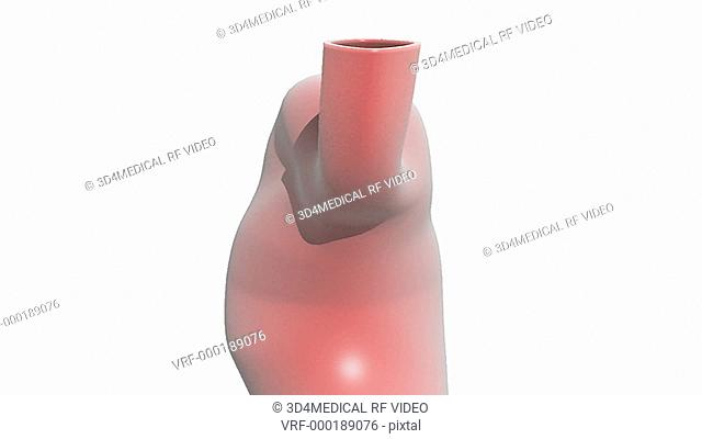 Animation of the stomach and duodenum rotating as the camera zooms out