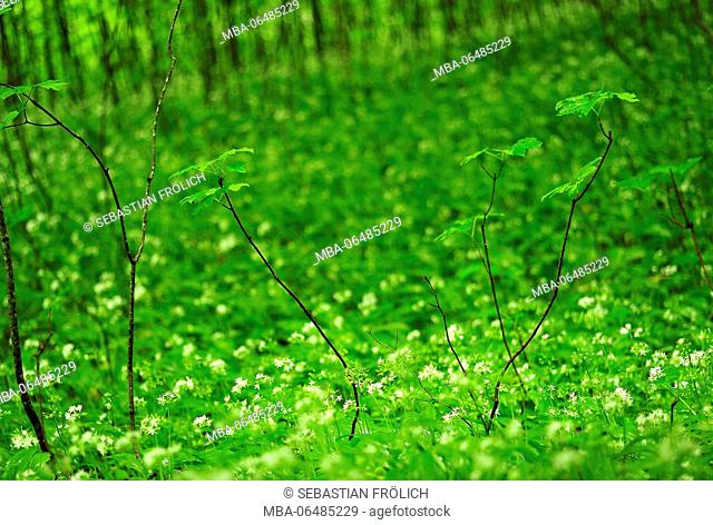 Young maple trees in a field blossoming wild garlic