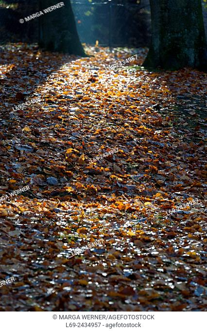 Autumn foliage of Common beech trees, Fagus sylvatica, Germany, Europe
