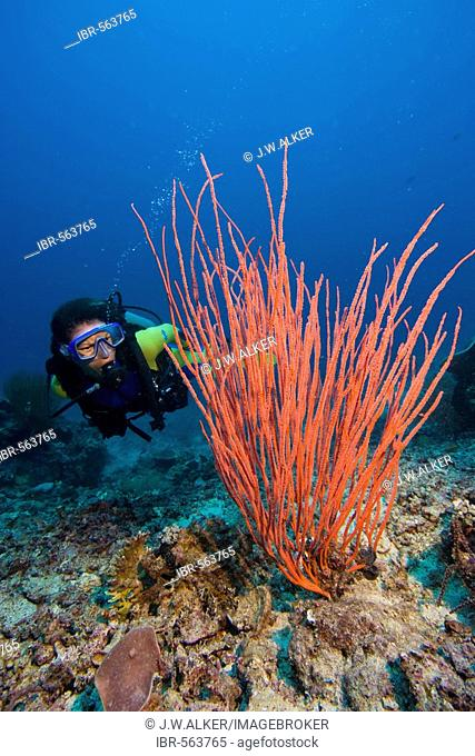 Diver and a Whip coral Ellisella ceratophyta