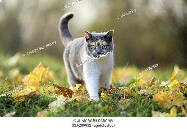 British Shorthair Cat. Tricolored adult walking in leaf litter. Germany