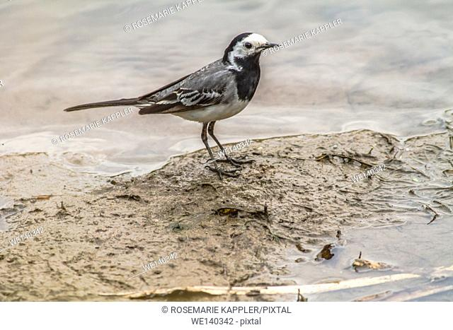 Germany, Saarland, Niederbexbach, A white wagtail is searching for fodder on the river Blies