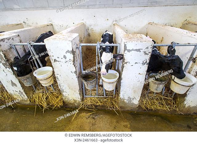 SOUTH AFRICA- Cows on dairy farm