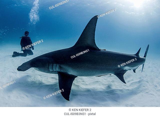 Diver beside Great Hammerhead shark, underwater view