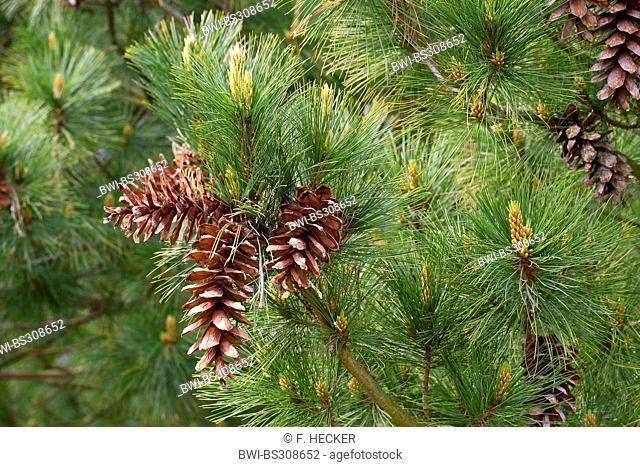 Macedonian pine, Balkan pine (Pinus peuce), branch with cones