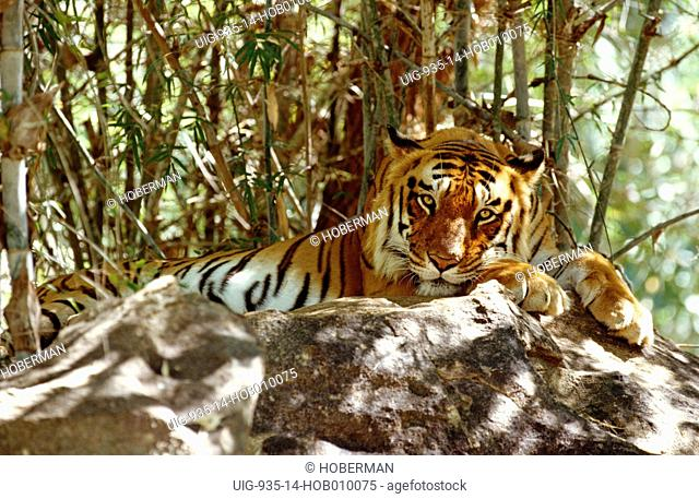 Bengal Tiger lying on rock, India