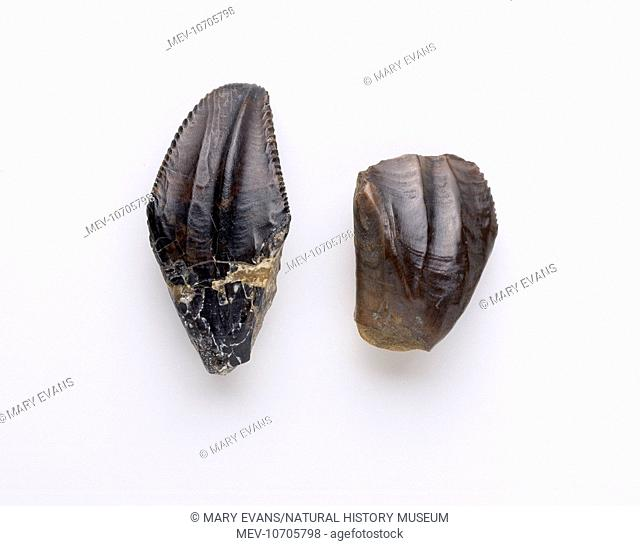 Two lower teeth showing one unworn with sharp edges (left) and the other worn down through use grinding rough plant material
