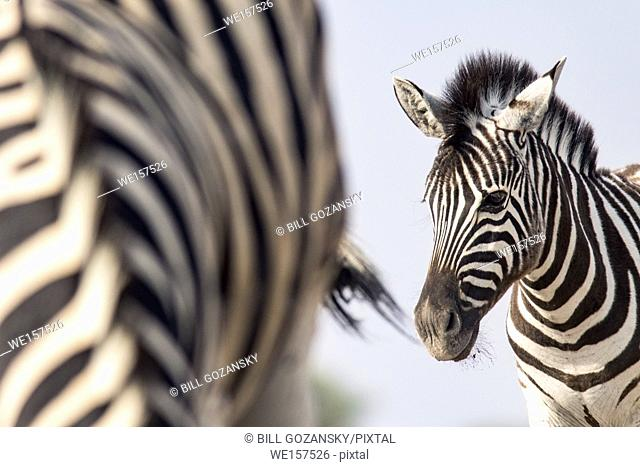 Portrait of young Burchell's zebra (Equus quagga burchellii) - Onkolo Hide, Onguma Game Reserve, Namibia, Africa