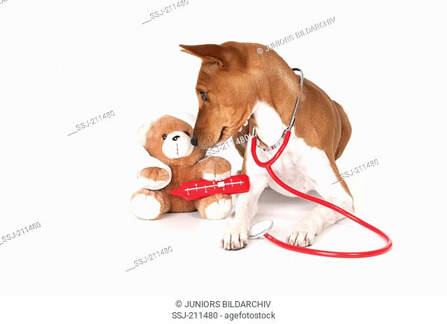 Basenji. Bitch (5 years old) with stethoscope and an ill Teddy bear, as a doctor. Studio picture against a white background. Germany