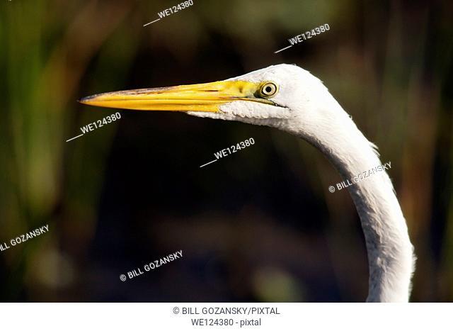 Great Egret - Green Cay Wetlands - Boynton Beach, Florida USA