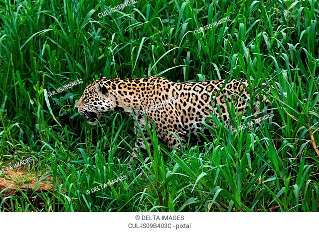 Jaguar (Panthera onca) in Cuiaba River marshes, Pantanal, Mato Grosso, Brazil