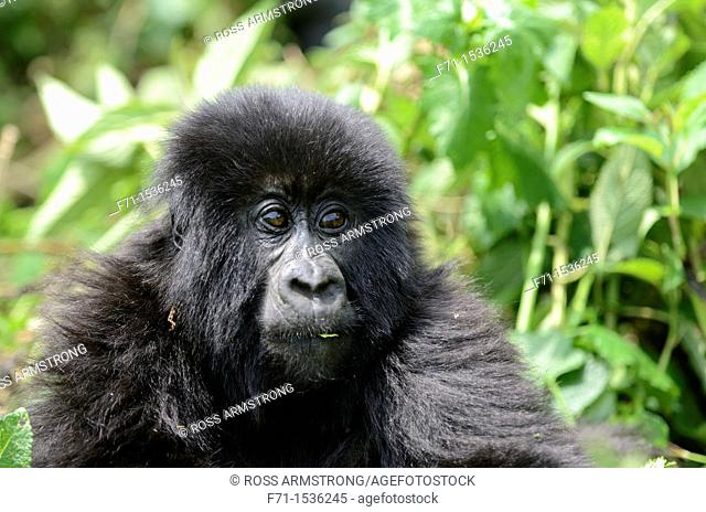 Mountain Gorilla Gorilla beringei beringei in Volcanoes National Park in north-west Rwanda