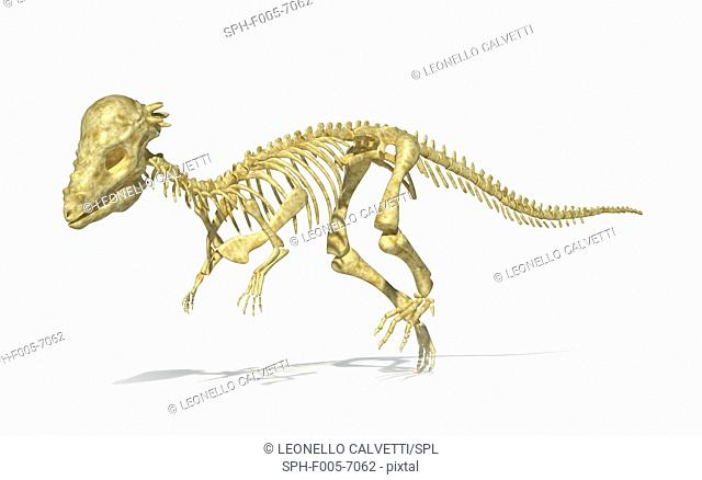 Pachycephalosaurus dinosaur skeleton, computer artwork. This dinosaur lived in the USA during the Maastrichtian stage of the late cretaceous period
