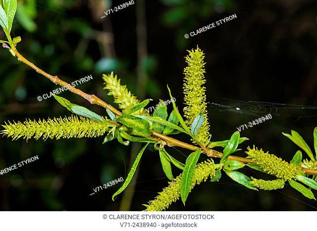 Willow (Salix caroliniana) New Male Flowers