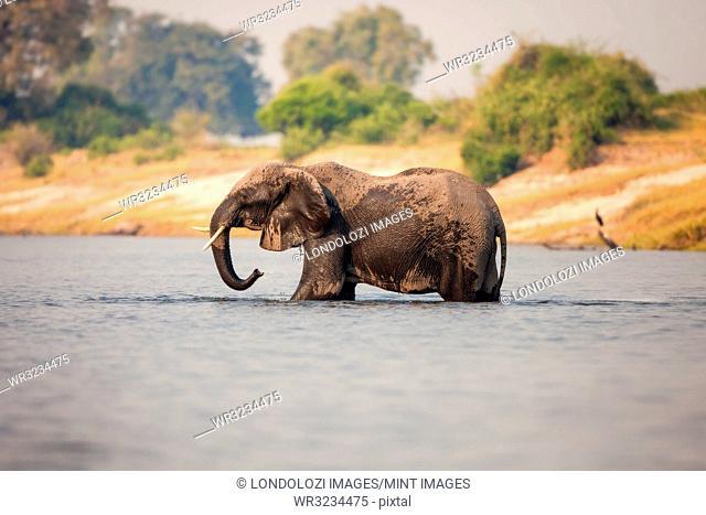 An elephant, Loxodonta africana, stands knee deep in water, wet body, trunk sprays water, looking away