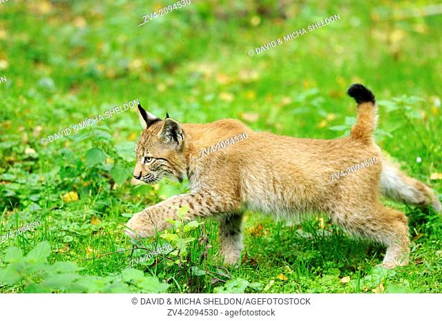 Close-up of a Eurasian lynx (Lynx lynx) cub walking on a meadow