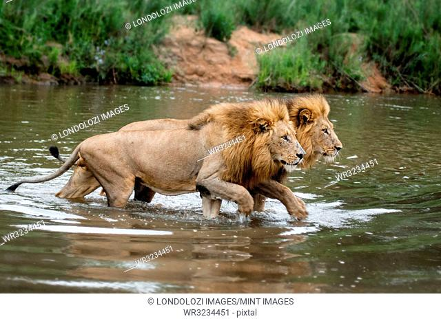 Two male lions, Panthera leo, walk across a shallow river simultaneously, looking away