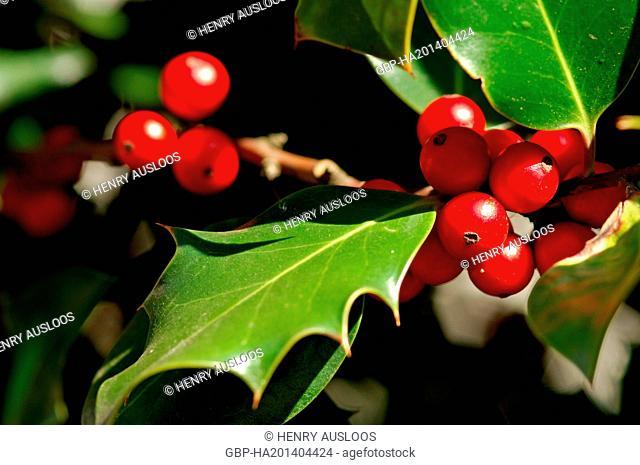 Holly, Ilex aquifolium