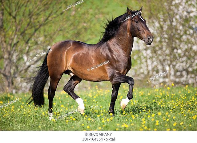 Lusitano horse - walking on meadow