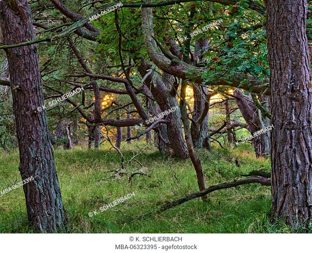 Germany, Mecklenburg-Western Pomerania, Western Pomerania Lagoon Area National Park, Darss Forest, evening mood, sun between pines