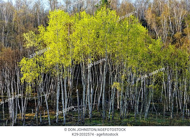 Emerging foliage in aspens on a hillside with birch trees, Greater Sudbury, Ontario, Canada