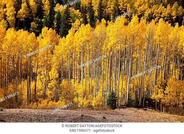 Aspens show their fall colors in the Rocky Mountains of Colorado