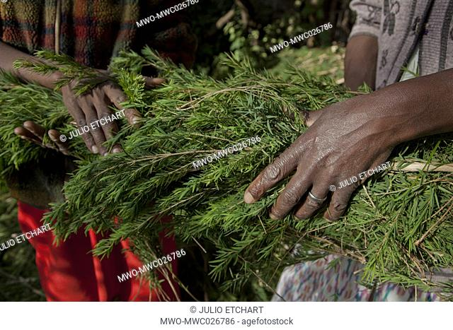 Farmers harvest and process tea tree oil for sale for export as a health and beauty product. Kenya