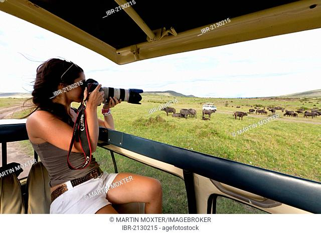 A young photographer observing a large herd of African buffaloes, Cape buffalos (Syncerus caffer), Maasai Mara National Reserve, Kenya, East Africa, Africa