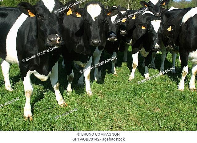 HERD OF HOLSTEIN COWS