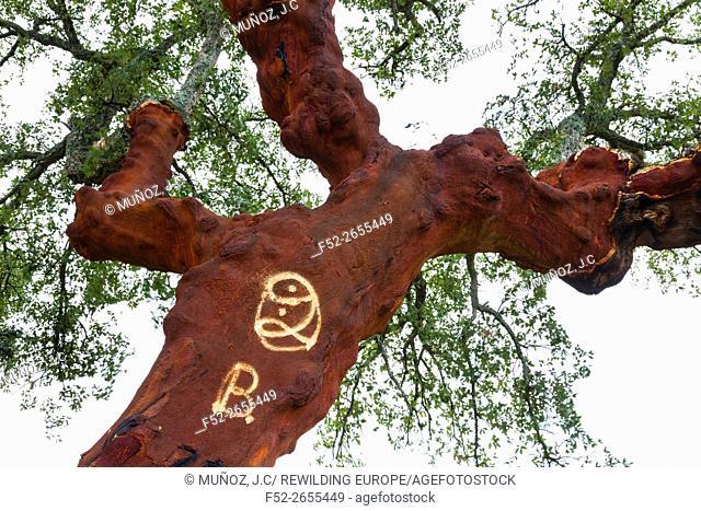 CORK OAK (Quercus suber), Faia Brava private reserve, Portugal, Europe