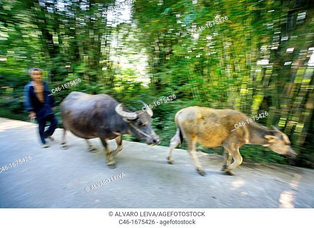 Man with buffalos, Xingping, Li River, Guangxi, China