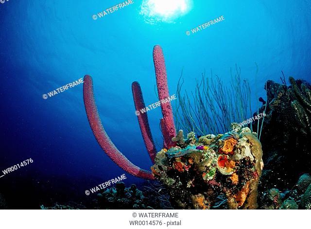 Korallenriff, Caribbean Sea, Tobago