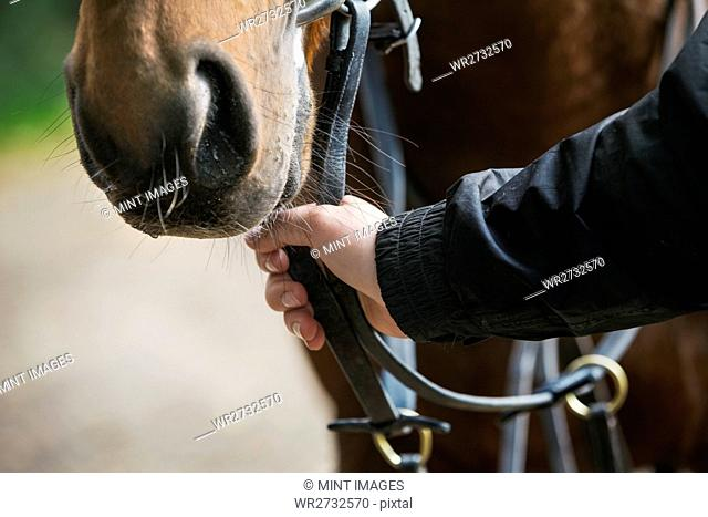 Close up of a human hand holding a brown horse by the bridle