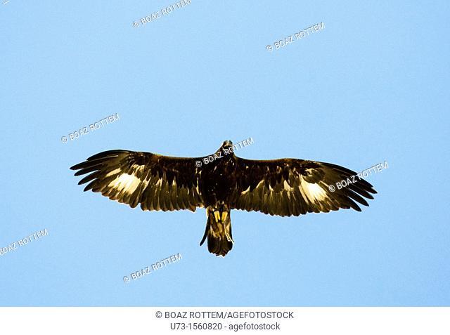A Golden eagle flying up high