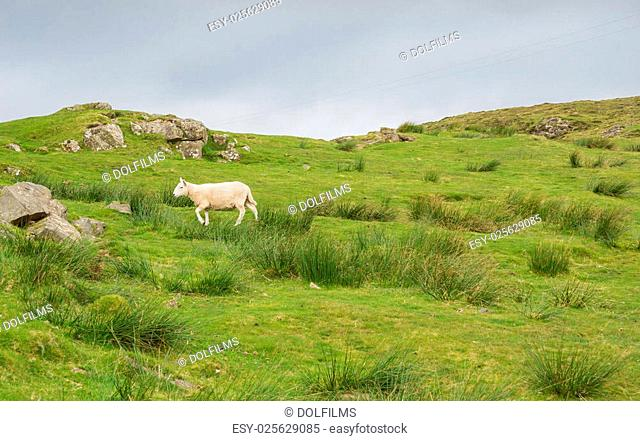 Sheep in landscape at West coast of Scotland near Neist Point