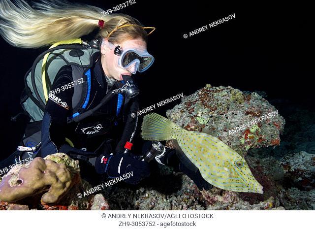Female scuba diver looks at filefish at night. Scrawled Filefish, broomtail filefish or scribbled leatherjacket (Aluterus scriptus)